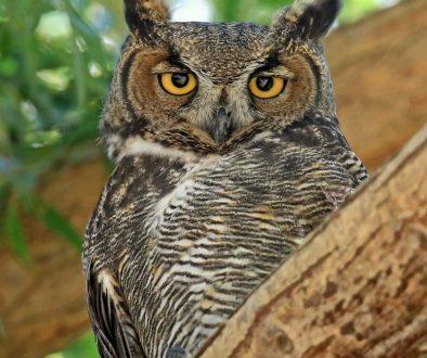 Great-Horned-Owl_William-Murdock