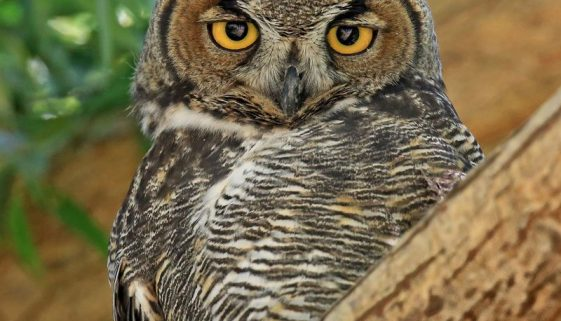 Great-Horned-Owl_William-Murdock